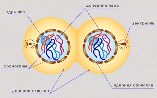 Урок деление клетки митоз