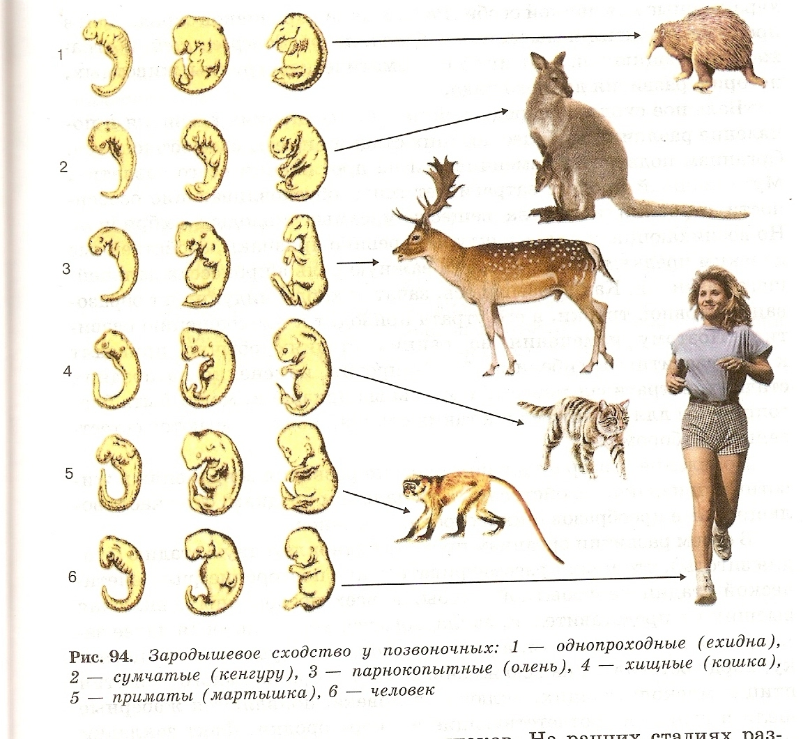 Схему эволюции животных