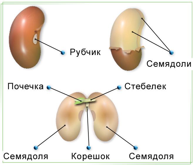 Изобразим схему строения семян