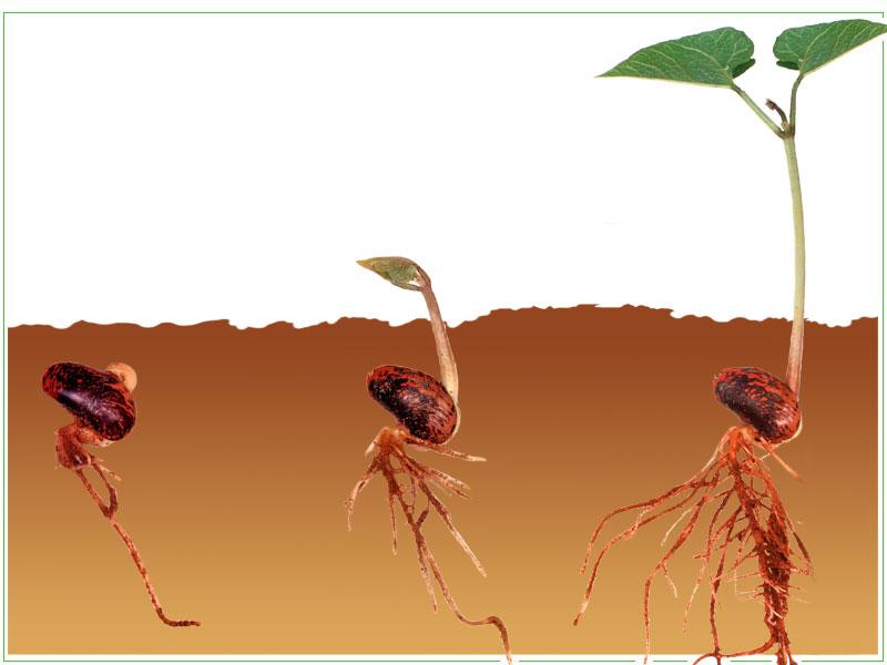 Строение семени фасоли.