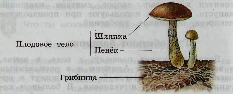 Питание шляпочных грибов.