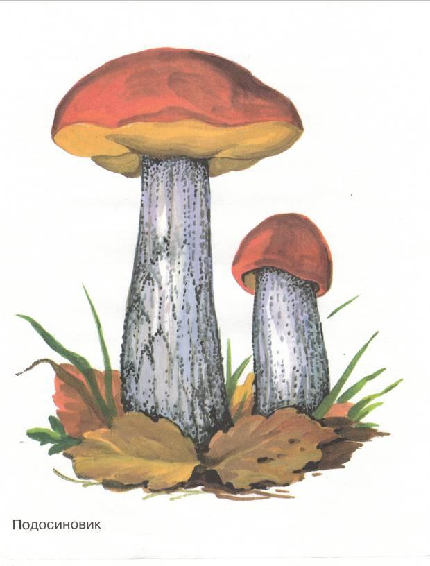 Рисунок грибов подосиновиков