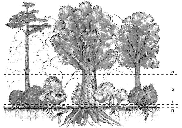Схема этажей леса