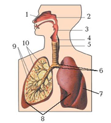 «Строение органов дыхания»