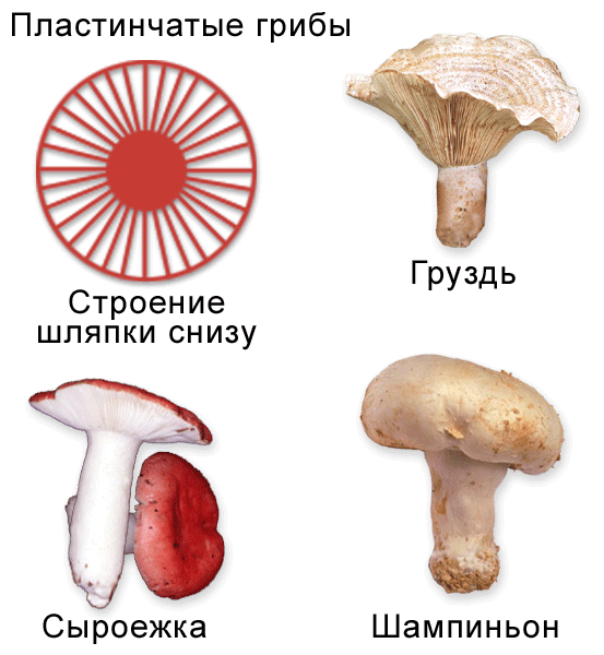Среди муляжей грибов учащимся