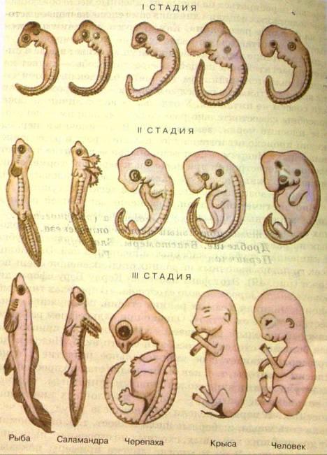 Развитие зародыша у людей в картинках
