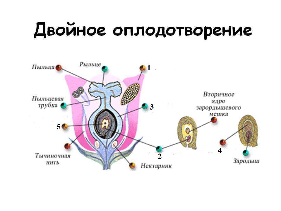 Дополните схему оплодотворения