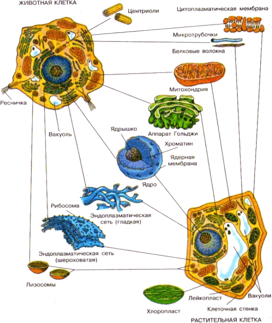 Хондриосома
