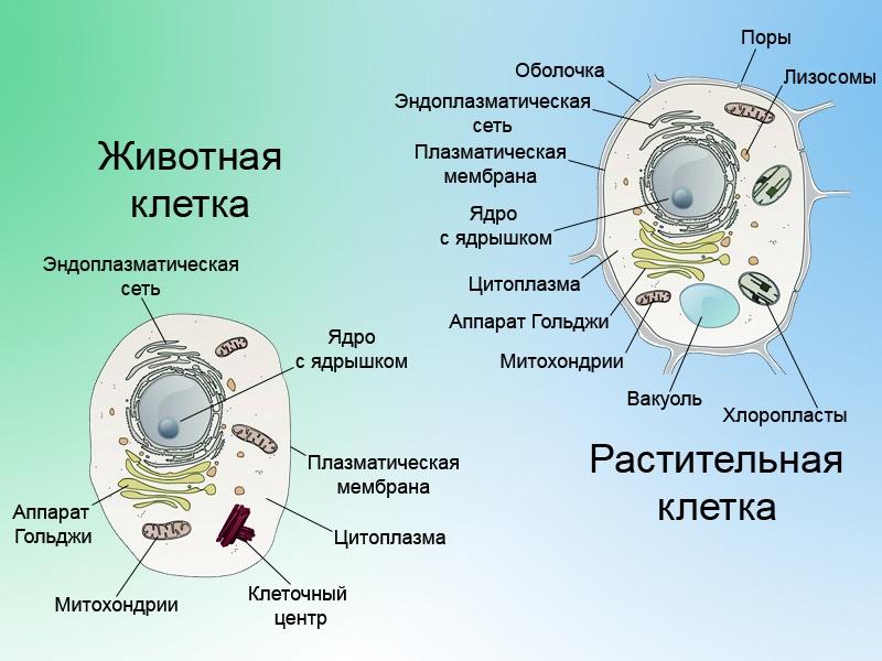 хондриосома фото