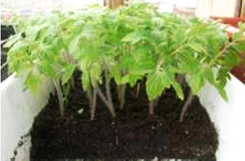 Как вырасти помидоры в домашних условиях для рассады